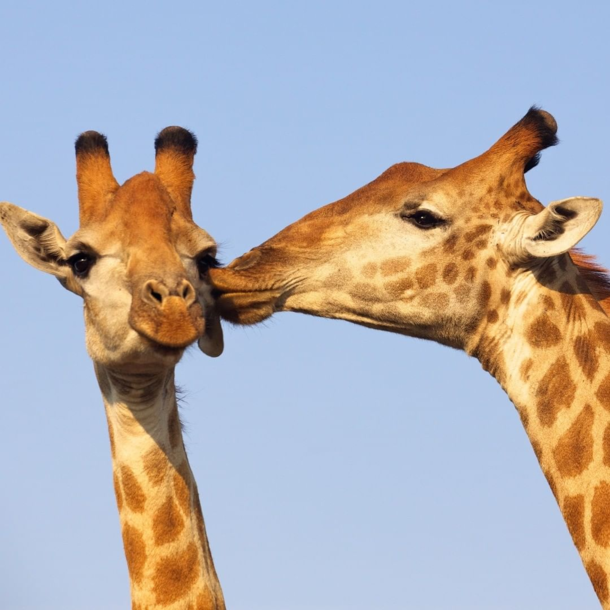 Giraffes Rehearsing for the Valentine Day
