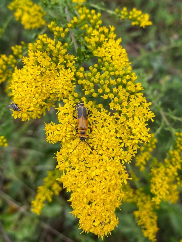 Goldenrod Soldier Beetle and a little fly paying the Godlenrod Solidago a visit