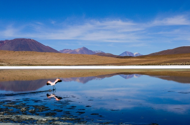 Gracious flamengo flies away from his spot in a lake in the Bolivian highlands
