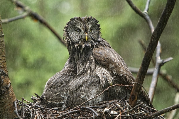 Great Gray Owl Strix nebulosa - photo by Peter Stahl