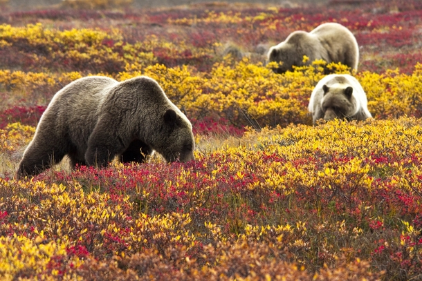 Grizzly bears Ursus arctos foraging for blueberries in Denali National Park Jacob W Frank