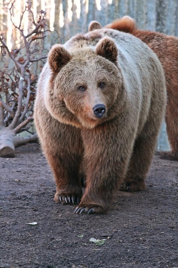 huge brown bear in russia tags animal huge brown bear russia Bear