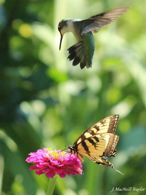 Hummingbird And Butterfly Photorator