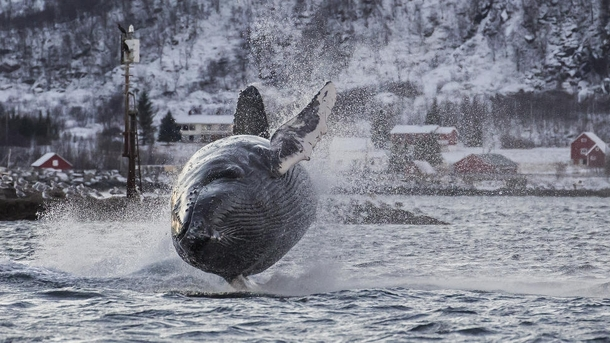 Humpback whale Megaptera novaeangliae lunging out of the water in Troms Norway