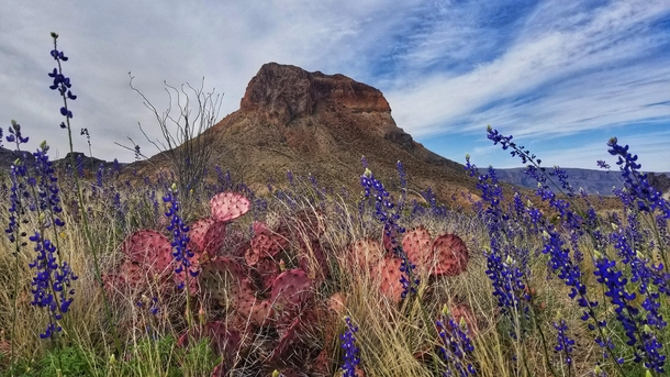 I see your purple cactus and raise you a pink cactus plus bluebonnets also Big Bend NP