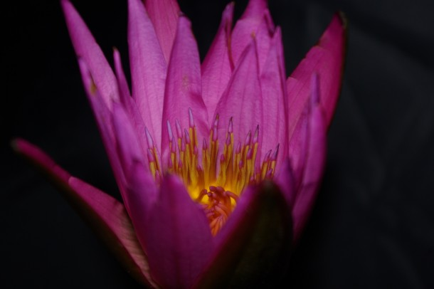 It feels as if we are peaking over the walls of a fortress witnessing some sacred ceremony to the lord of the light  Pink Lotus  Nelumbo nucifera
