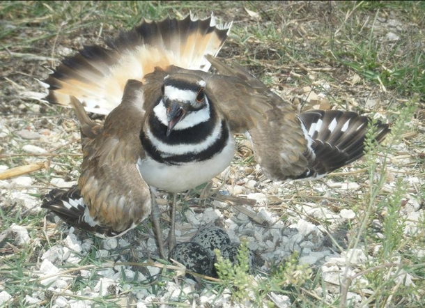 Killdeer protecting her nest