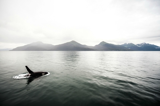 Killer whale off the coast of Valdez Alaska A light rain started to fall as I shot this