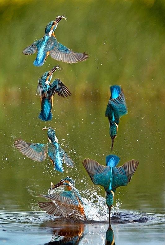 Kingfisher Catching Fish Photorator