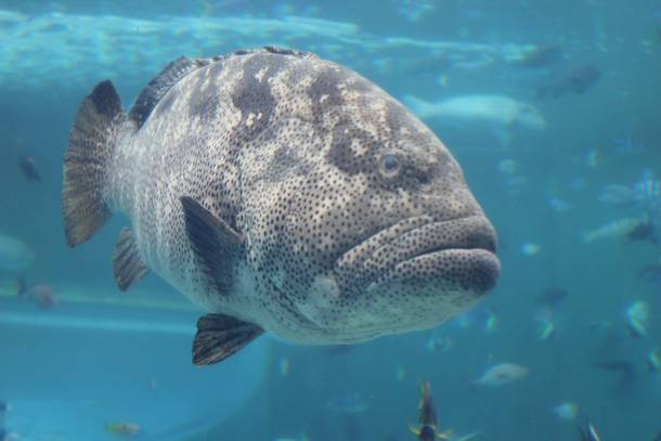 Image result for leopard grouper