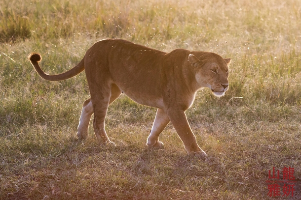 Lioness in the late evening light heading out to hunt the Serengeti