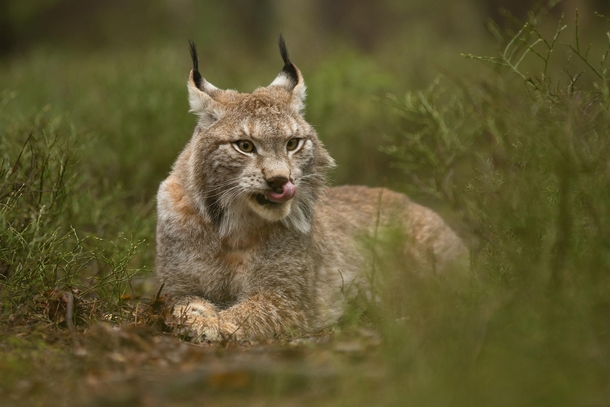 Today's Magical: A Lynx Being Majestic! | ViralSpell