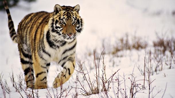 Majestic Tiger in the Taiga - Photorator