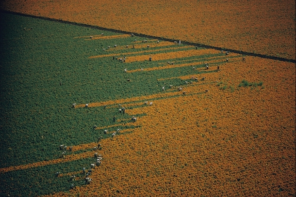 Marigold field being harvested Mexico  x-post from rwoahdude