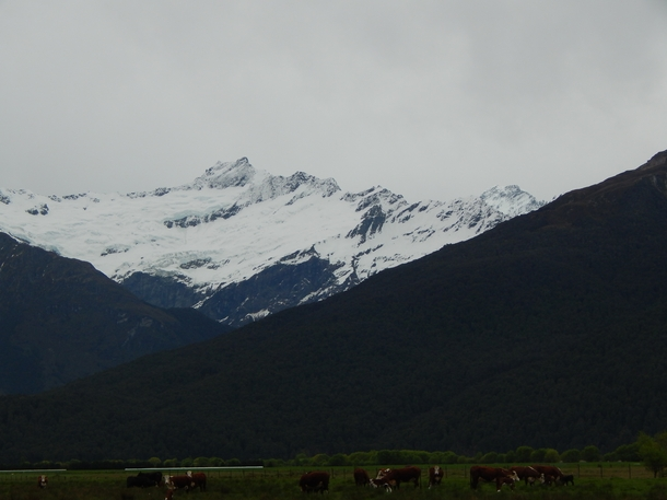 Matukituki Station cows grazing on the river flats in front of the Avalanche Glacier and Mt Avalanche m and the Mighty Mount AspiringTititea m the highest peak outside of the Mount CookAoraki region