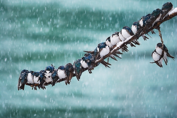 Migrating Tree Swallows During The Winter Time Near The Yukon River By  Keith Williams