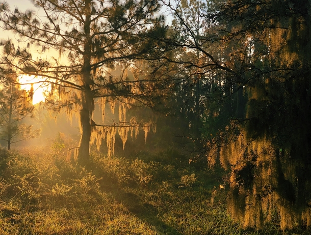 Morning Light at the Swamps Balm FL