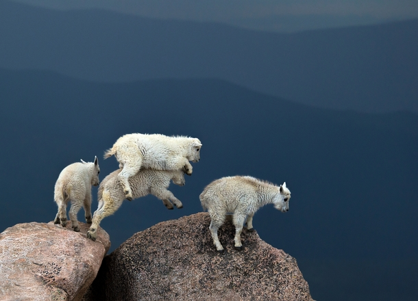 Mountain goats Oreamnos americanus photographed at over  feet