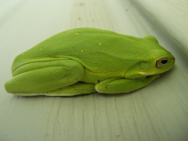 My Faithful Watch frog which is an Hyla Cinerea American Green Tree Frog