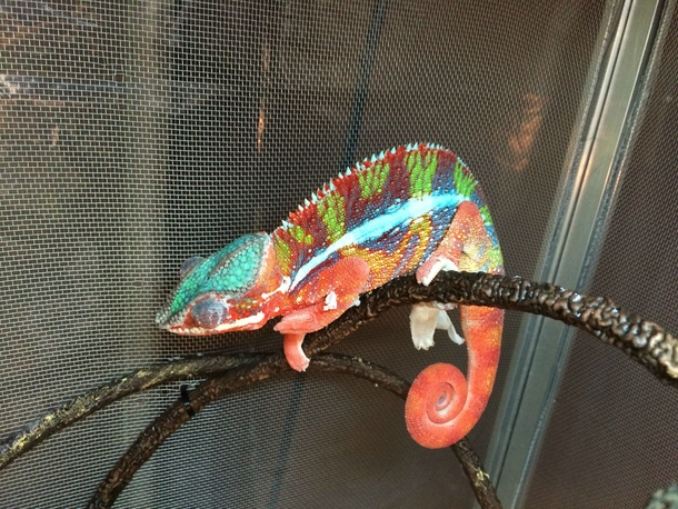 My new chameleon just after a shed