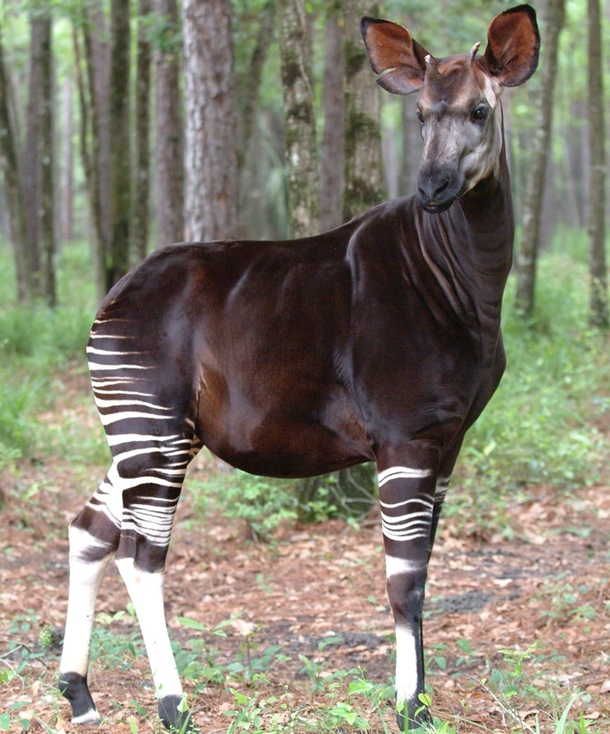 Okapi The Endangered Forest Giraffe Of The Congo Photorator