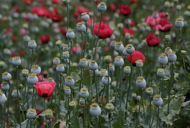 opium poppy control act of 1942