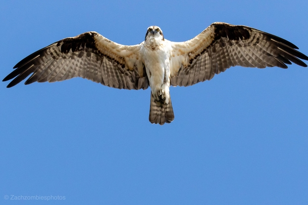 Osprey flew right over me