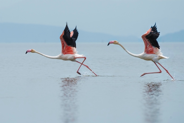 Pair of flamingos getting ready to take off Photo credit to Dattatreya Patra
