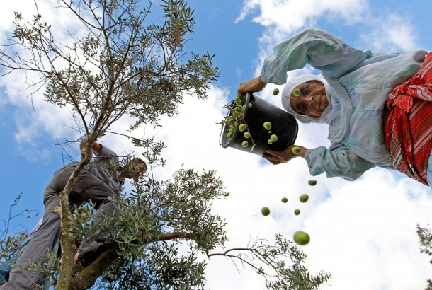 Palestinian farmers harvest olive trees on the outskirts of the West Bank village of Salem