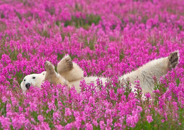Polar bear playing in a flower field_ Canada By Dennis Fast