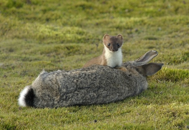 alpha as phuck stoat kills rabbit 10x its size (nature)(neat) - Bodybuilding.com Forums