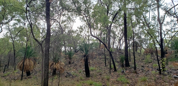 Rain nourishes the trees and cycads whose trunks are blackened by past fires Carnarvon Gorge Queensland
