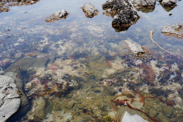 Seaweed Diversity in Tidepool Olympic National Park
