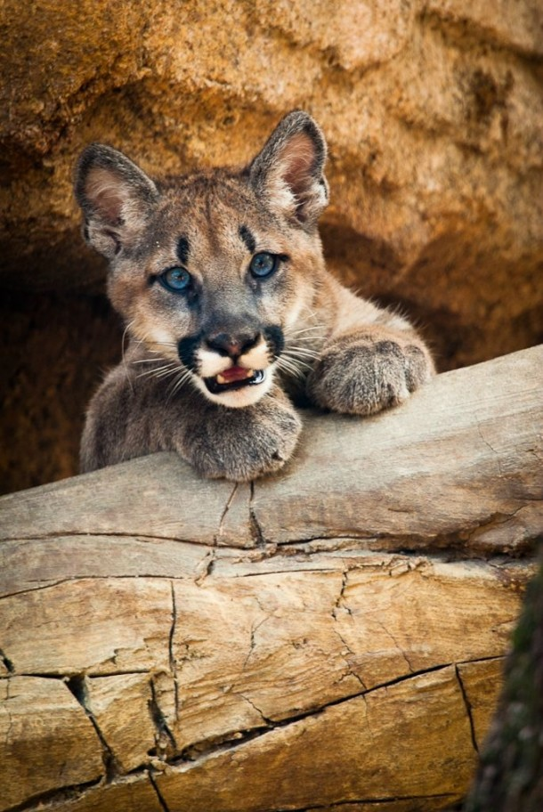 Shasta VI the University of Houstons cougar when he was a cub