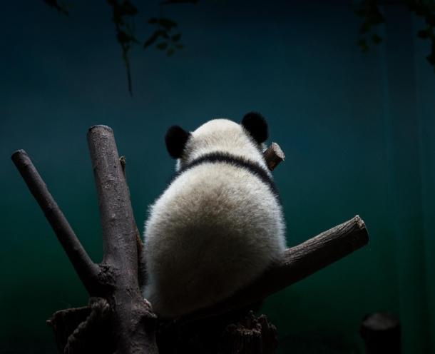 Panda sleeping on back