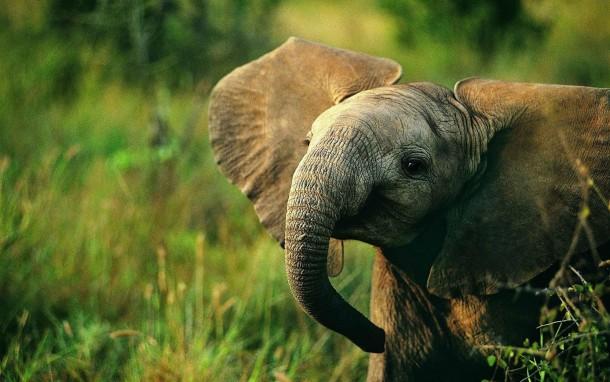 Smiling Baby African Elephant - Photorator
