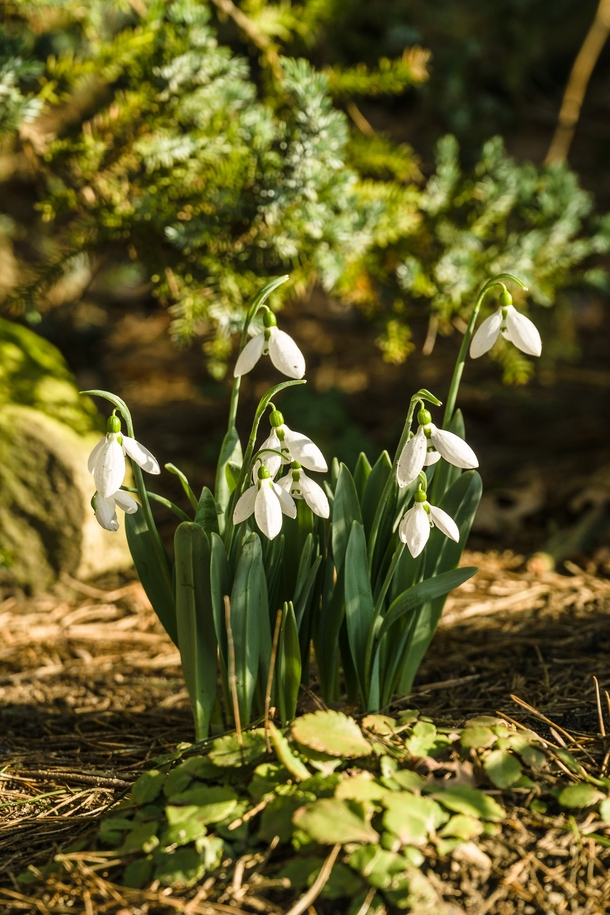 Snowdrop in February sun Galanthus nivalis