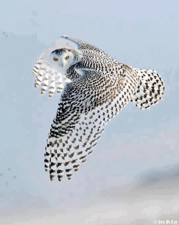 Snowy Owl Bubo scandiacus - Photorator