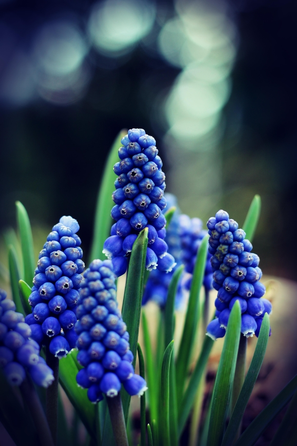Spring Blues - Muscari on a cold and cloudy Day Traubenhyazinthen