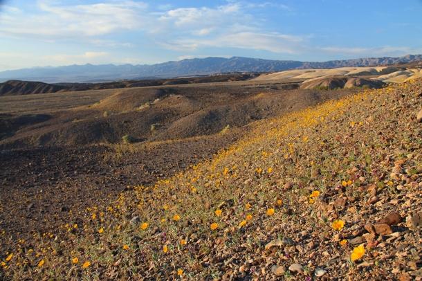 Spring flowers in death valley ca photorator spring flowers in death valley ca mightylinksfo