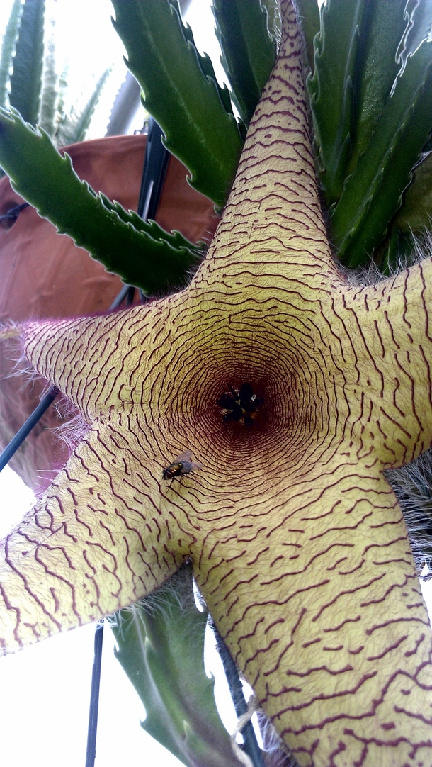 Stapelia gigantea starfish flower