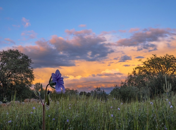 Storm clouds and flowers at sunset this evening in Redding California