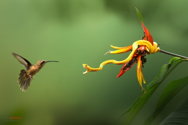 Stripe-throated Hermit defending its territory from an Eyelash Viper in Costa Rica by Chris Jimenez