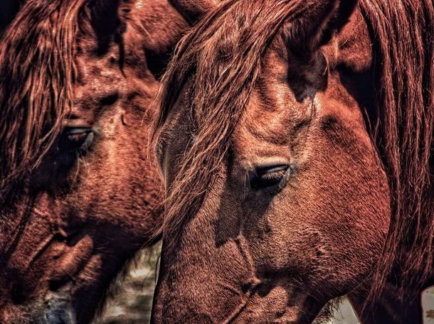 Suffolk Punch draft horses
