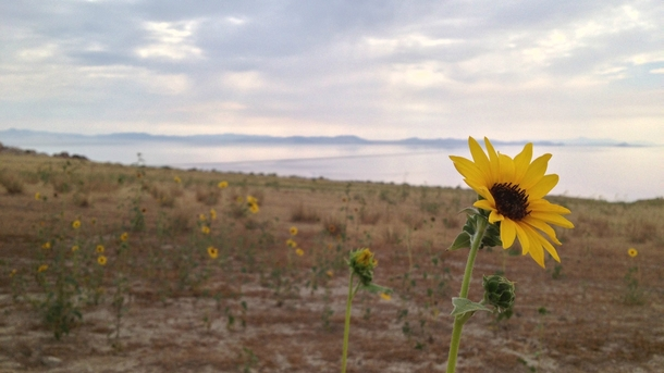 Sunflower overlooking the Great Salt Lake