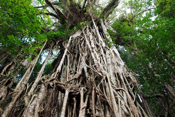 The Cathedral Fig Tree in Queensland Australia