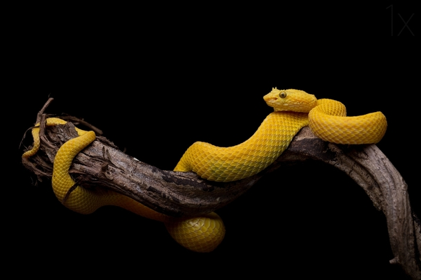 The Eyelash Viper Bothriechis schlegelii  photo by Thor Hakonsen