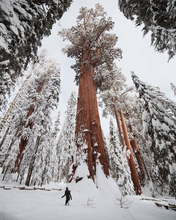The largest tree in the world shortly after a snowstorm