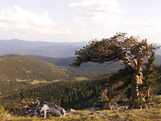 The last tree at timberline St Marys Glacier CO