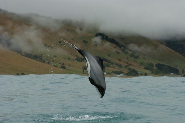 The Mauis dolphin one of the rarest dolphins in the world Only  are estimated to exist x-post from rdolphinpics